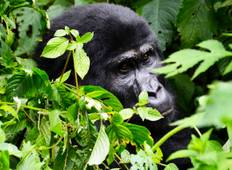 11 Day Best of Uganda Wildlife & Primate Tour (2 Weeks of Gorillas, Big 5, Wildlife & Chimps) Tour