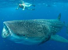 Whale Shark Tour (1 destination) Tour