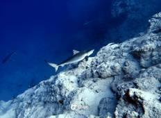 Tiger Shark Diving Tour Tour