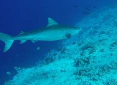 100% Dive With Tiger Shark Tour Tour