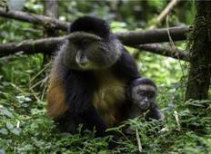 Rwanda Gorilla Trekking and Golden Monkey Tour Tour