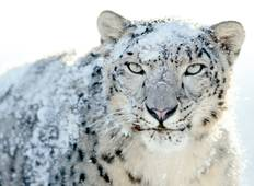 Exclusive Snow Leopard Expedition Trek In Himalayas  Tour