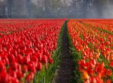 Tulips of Northern Holland 2021 Tour