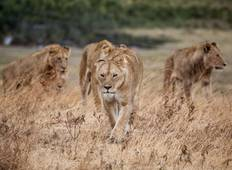 Big Cat\'s & Wildebeest  Migration Safari Tour
