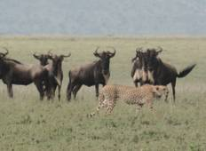 7-Day Luxury Tanzania Wildebeest Migration Safari Tour