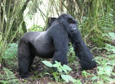3 Days Uganda Gorilla Safaris Tour