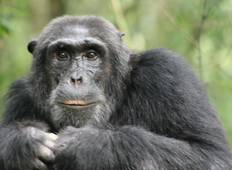 3-Day Chimps Tracking in Kibale Forest National Park Tour