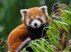 Red Panda Wildlife Experience  Tour