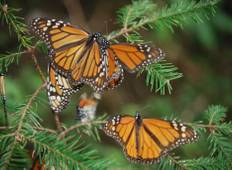Amazing Monarch Butterfly´s life Tour