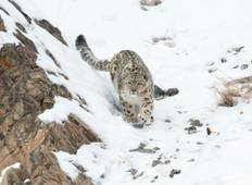 Snow Leopard Wildlife Experience  Tour