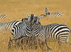 Serengeti Nationalpark & Ngaorongoro Krater Privatrundreise - 4 Tage Rundreise