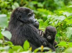 Gorillas, East & Southern Africa Encompassed (Nairobi to Cape Town) Tour
