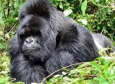 Gorillas, Chimps & Maasai Mara Tour