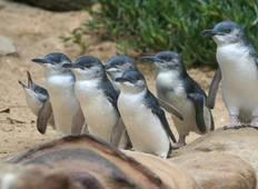 Penguin Parade and Wildlife Tour 1 DAY Tour
