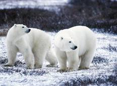Churchill Polar Bear Families, Canada Tour