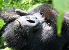 Mountain Gorillas of Uganda Experience - Independent Tour