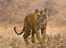 Bandhavgarh Tiger Experience (4 days) Tour