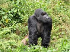 Auf den Spuren der Gorillas in Uganda und Ruanda National Geographic Journeys Rundreise