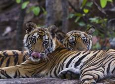 India Tiger Safari Tour