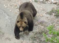 Brown Bear Tracking in Northern Greece Tour