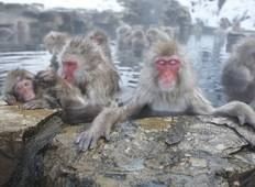 Meet Wild Snow Monkey - Winter Japan Tour Tour