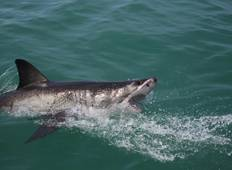 Cape Town Great White Shark Adventure 4D/3N Tour