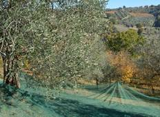 Olive Picking in Italy Tour
