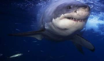 Shark Cage Diving with Great Whites Tour