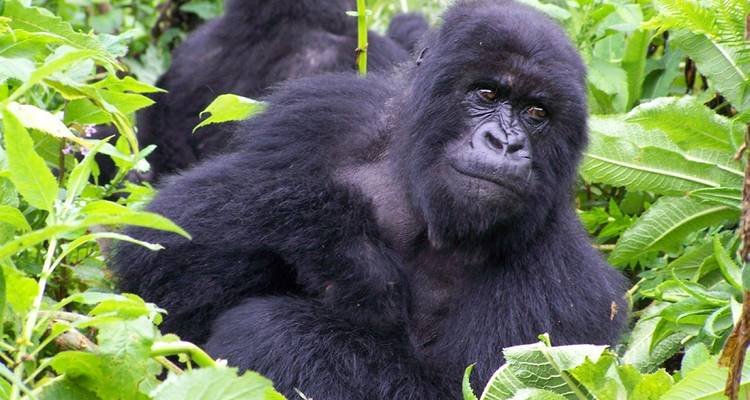 Troop to the Gorillas Accommodated 9 Days - Acacia Adventure Holidays