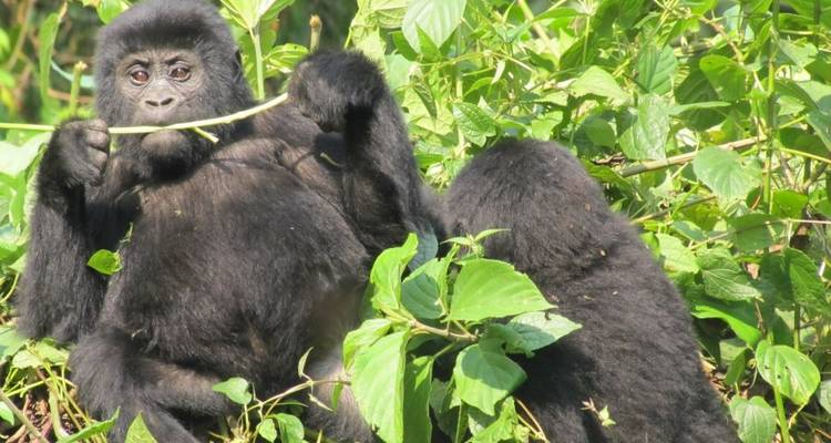 3 Day Gorilla Fly In Safari at Bwindi National Park - Bamboo Ecotours