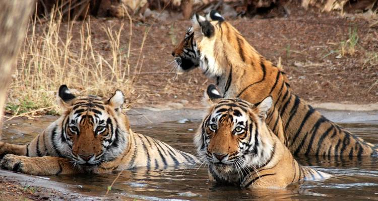 5-Days Ranthambore Wildlife Safari Tour with Taj Mahal, Agra and Jaipur from Delhi - Golden Triangle Tours Of India