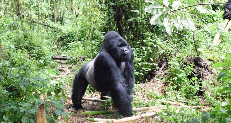 Lowland Gorillas trek in Kahuzi-Biega (3days/2nights) - Ubuntu Voyages