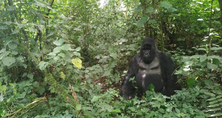 Mountain Gorilla trek in Virunga National Park (3days/2nights) - Ubuntu Voyages