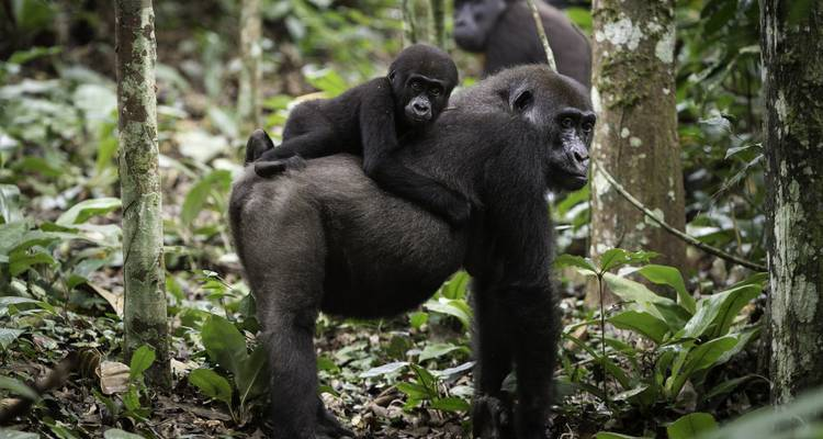 Gorillas of the Congo 2019 - Zegrahm Expeditions