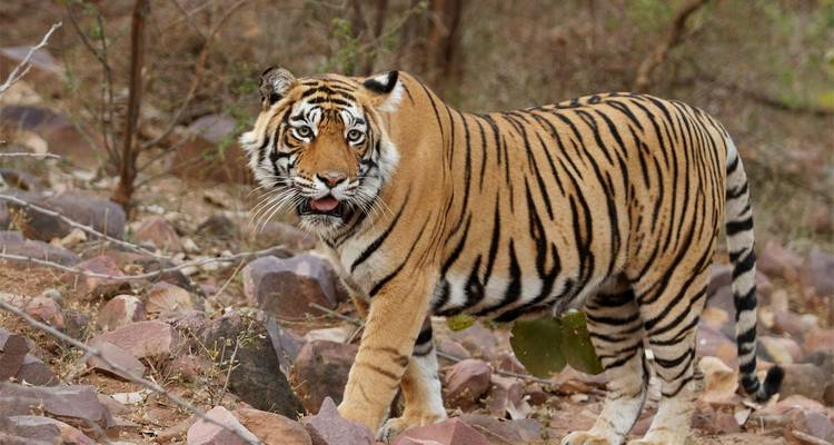 Rajasthan Tiger Tour - Welcome Rajasthan Tours & Travels