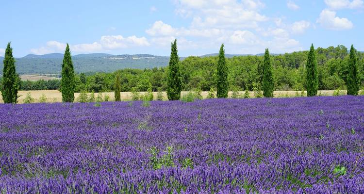 Lavender in bloom in the South of France - Regina River Cruises
