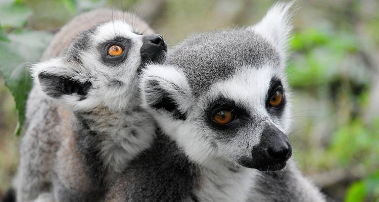 All About Lemurs - 4 Days! - MTT Blue Madagascar
