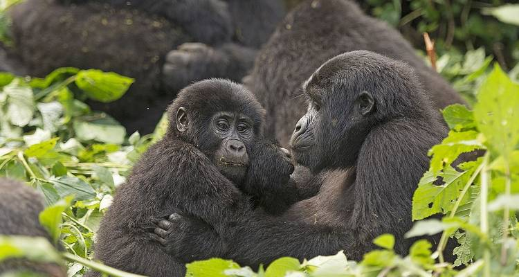 3 days Gorilla safari in Uganda – Gorilla tours - Rumara Safaris