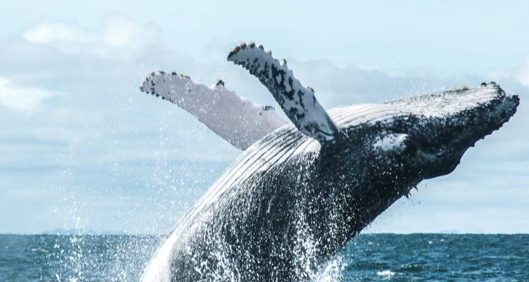 Whale Watching in Chocó - Impulse Travel