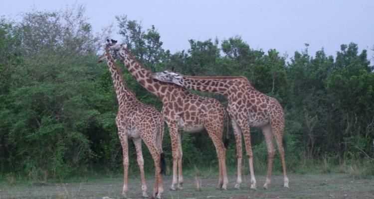 3 Days Masai Mara flying Safari - Mombasa - Bigzone Africa Safaris