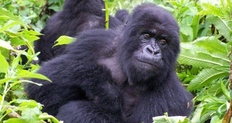 Magic of the Mountain Gorilla - Acacia Adventure Holidays