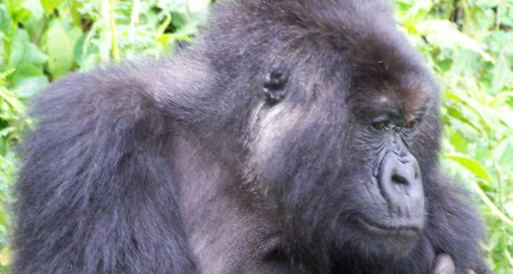 Mountain Gorilla Express - Acacia Adventure Holidays