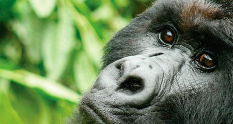 Gorillas & Chimps In Depth - Intrepid Travel