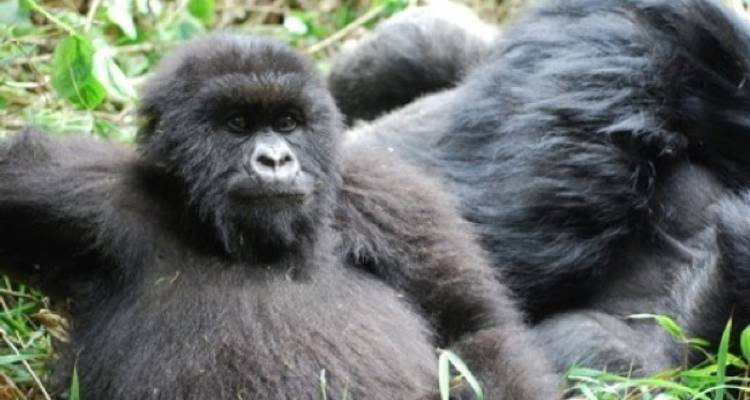 Gorillas and Game Parks - Absolute Africa