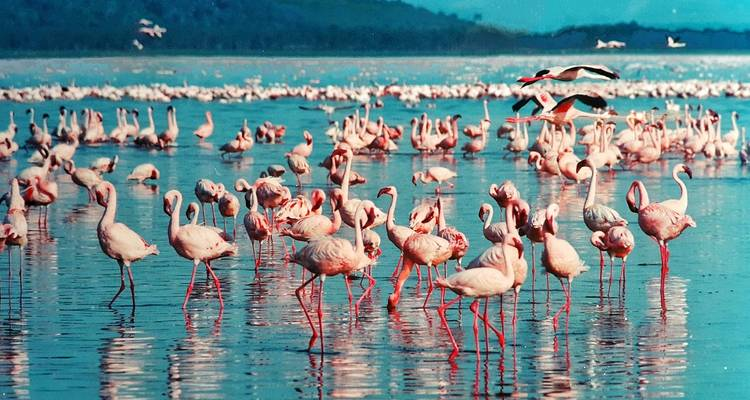 Flight of the Flamingos - Absolute Africa