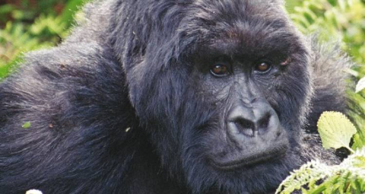 Gorilla Safari - World Expeditions