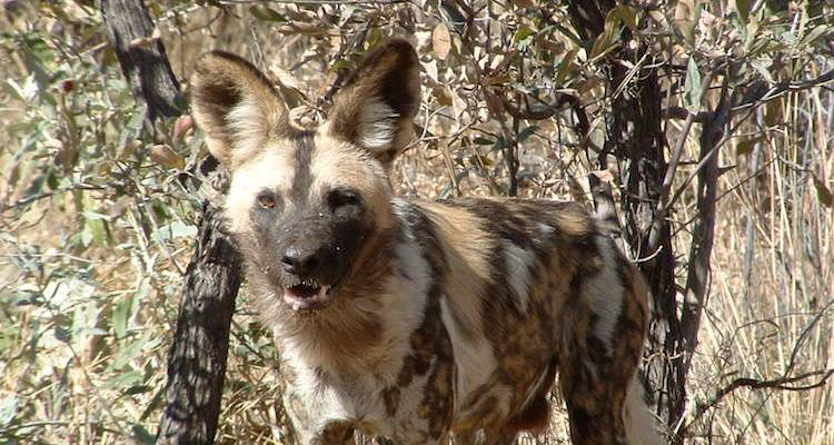 Wild Dogs and Victoria Falls - Absolute Africa