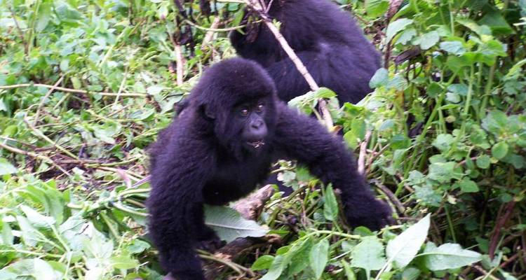 Mountain Gorilla Express Accommodated - Acacia Adventure Holidays
