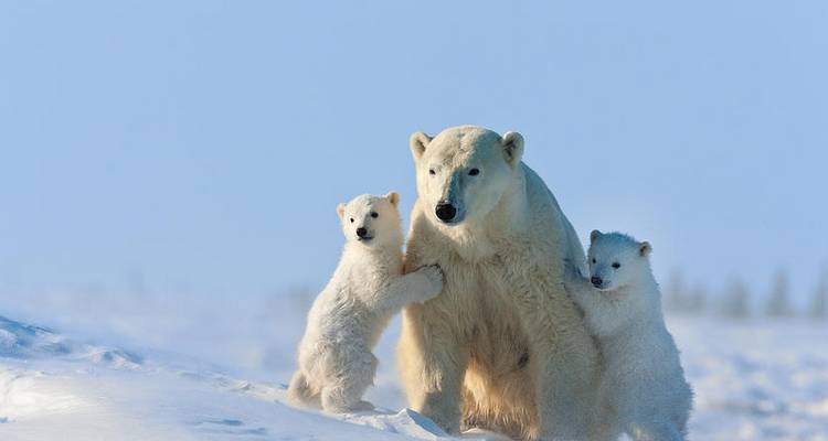 Churchill Polar Bear Families, Canada - A Life of Travel