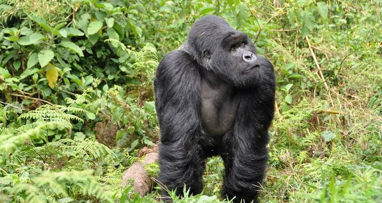 Mountain Gorillas of Rwanda - Intrepid Travel